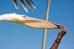 Pelican beak.jpg