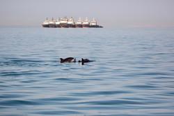 Dolphins ships.jpg