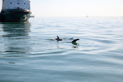 Seal flipper ship.jpg