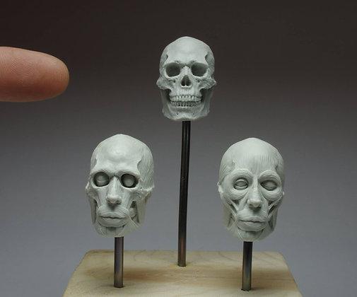Anatomy Head Set