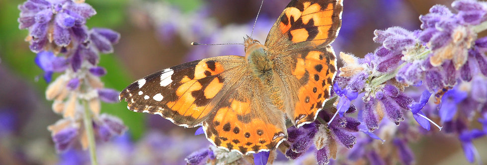 Painted Lady on Russian Sage A