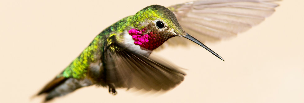 Broad-Tailed Hummingbird  Go