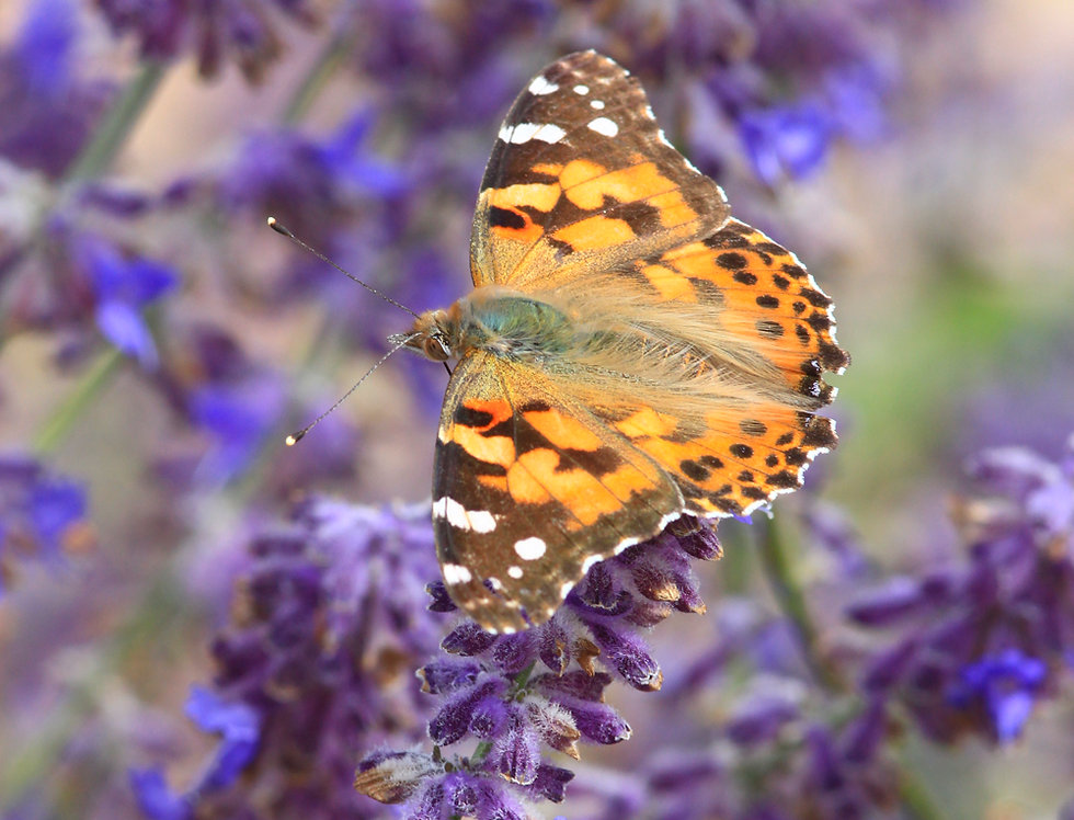 Painted Lady on Russian Sage B