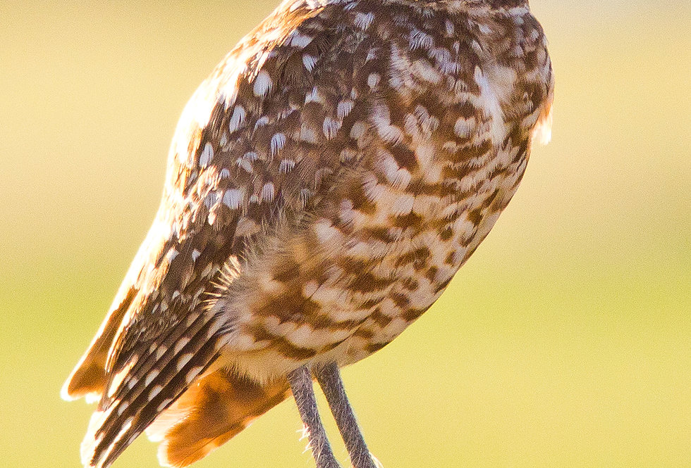 Omen (Burrowing Owl)