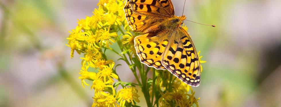 Zerene Fritillary on Goldenrod
