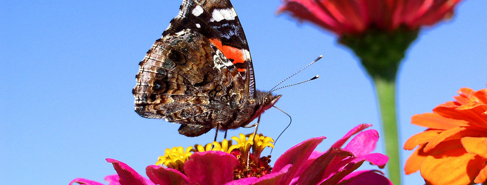Red Admiral on Zinnia