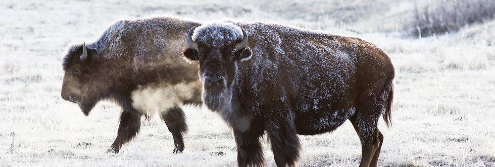 Bison Below Zero