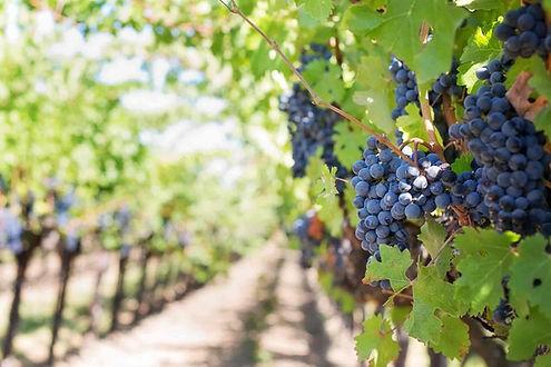 grapes-on-vineyard-during-daytime-39351-