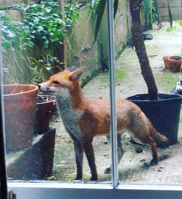 Good morning! 🦊New housemate! #fox #urban #friends