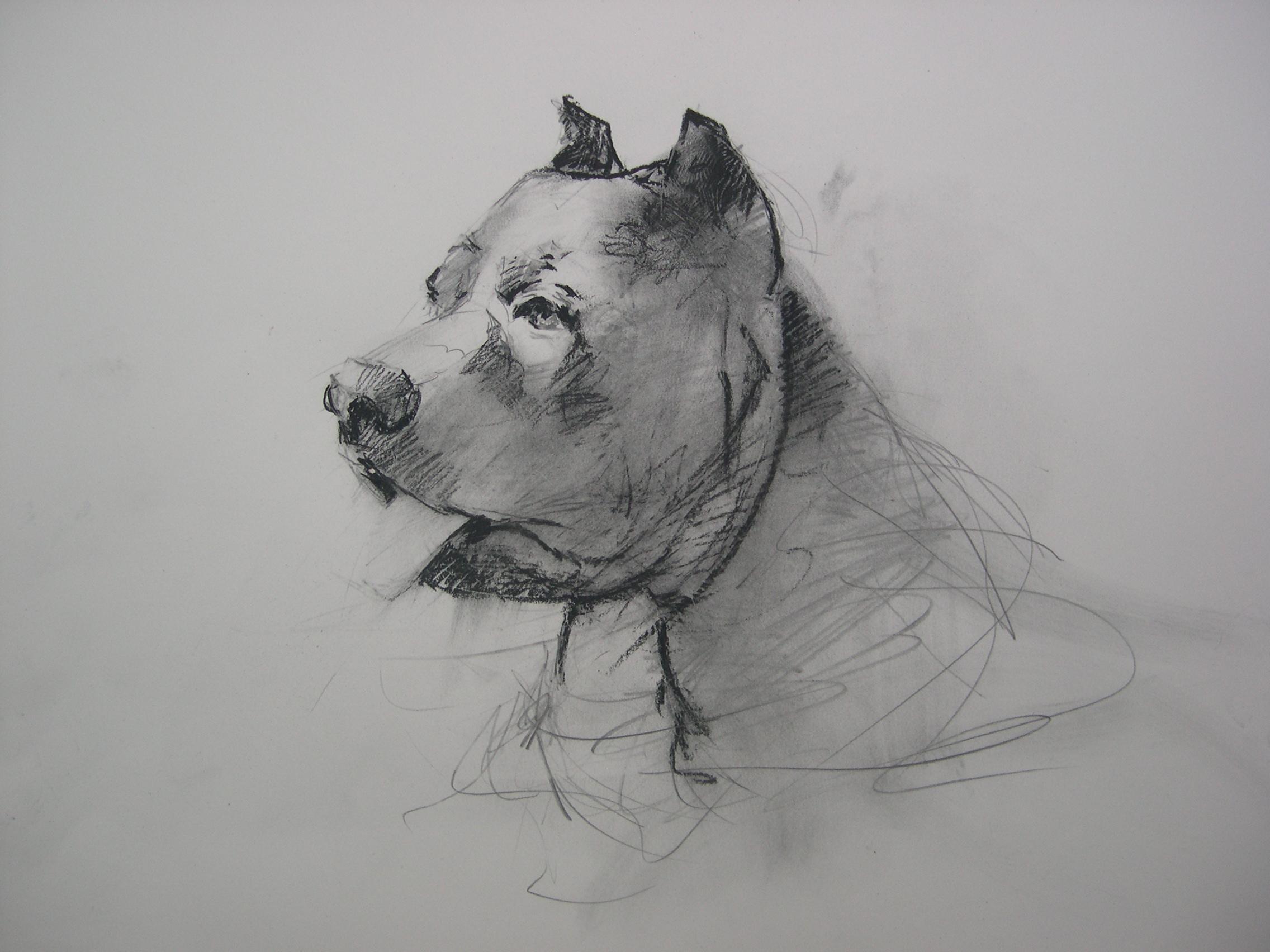 Tonka -Pit Bull