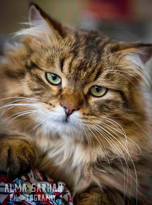 Siberian Cat Breeders Australia