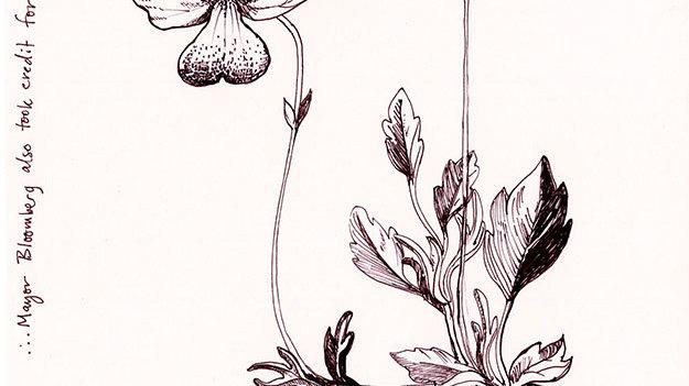 Alpen Flower Drawing 4