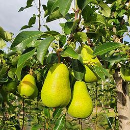Tosca Pear.jpg
