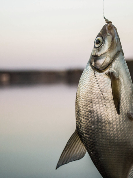 Porgy fish are biting!