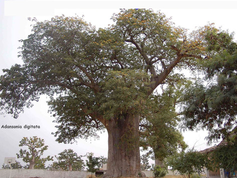 Le symbolisme du baobab, l'arbre magique