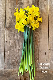 Narcissus Yellow River
