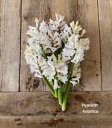Hyacinths Antartica