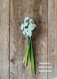 Narcissus%20White%20Inbal%20Paperwhite_e