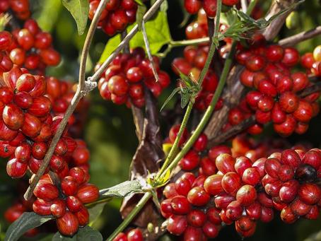 Produção de cafés especiais: Mercado em ascensão e alternativa para pequenos produtores