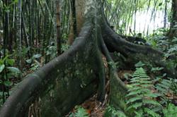 raiz del árbol de higuerón