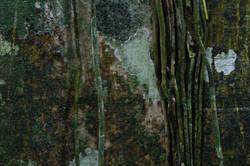 raices de un higueron