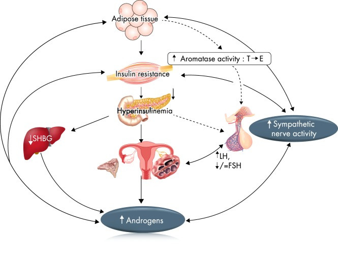 The Pathophysiology of PCOS