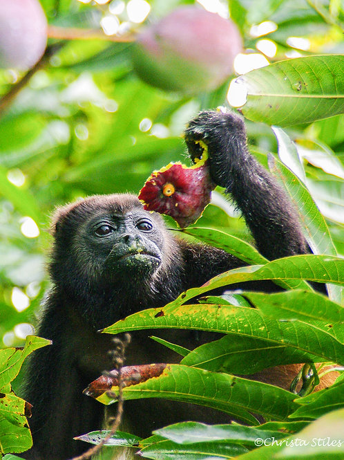 """""""Monkey Ponders Mango"""" limited and numbered print, matted"""