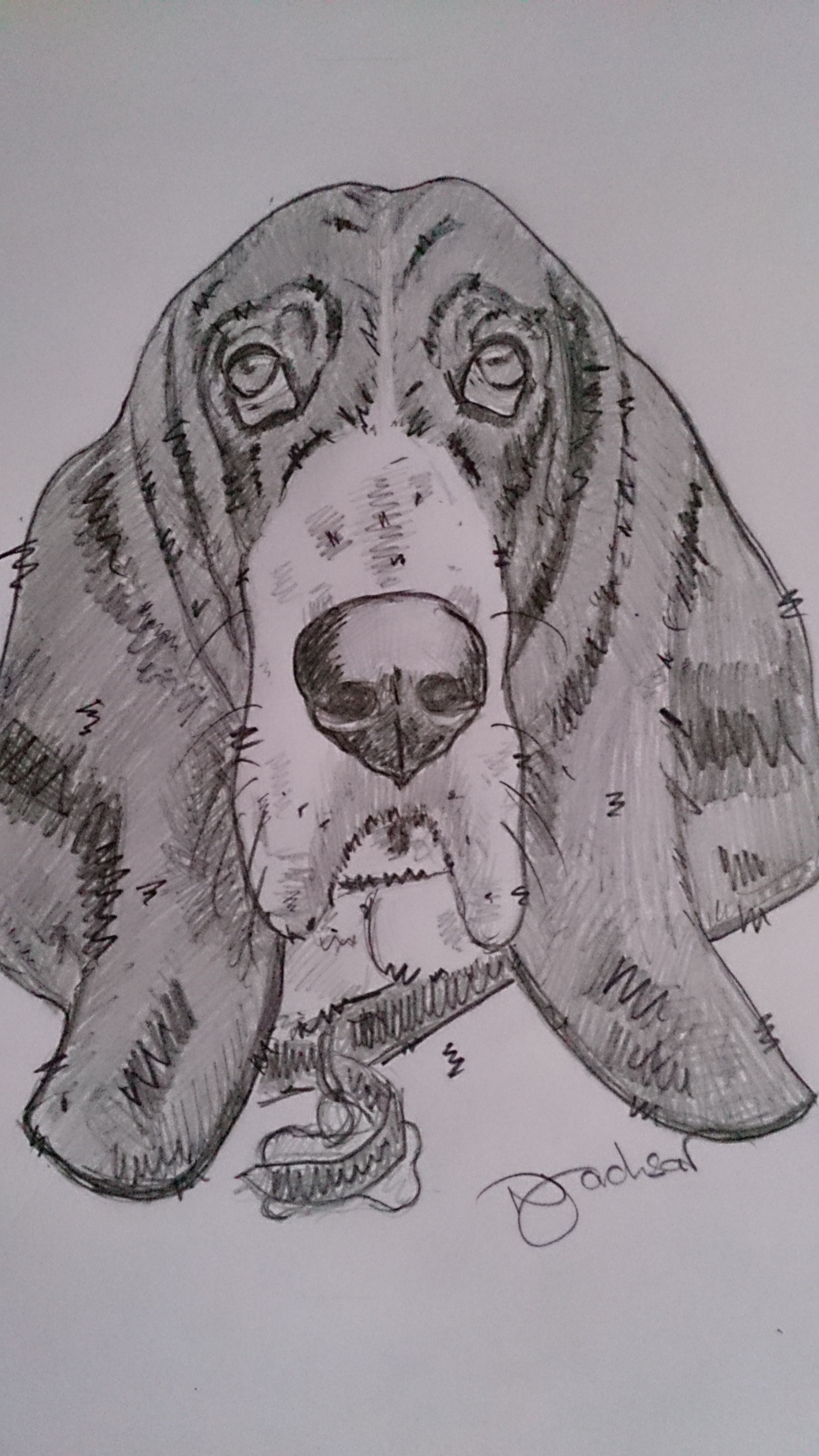 Basset Hound pencil sketch