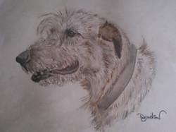 Irish wolf hound portrait