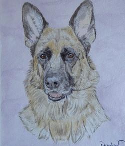 German Shepheard Portrait.