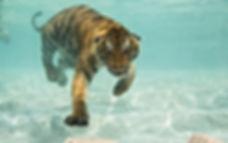 Tiger-gallery-13.jpg
