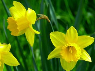 Daffodil Day Light Luncheon