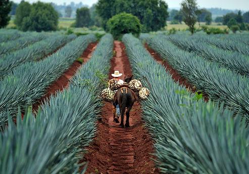 mezcal farm.jpg