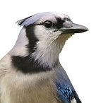 Blue Jay.jpg