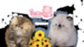 Gatil Facine, gatil, Himalaias, filhotes gato, venda gato, gatil rio de janeiro