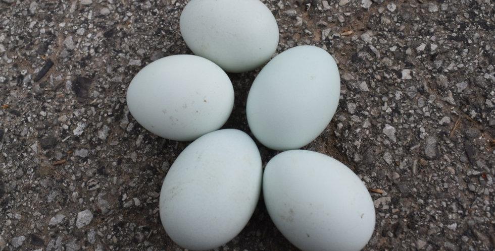 Ameraucana Mix Hatching Eggs (1/2 Dozen)