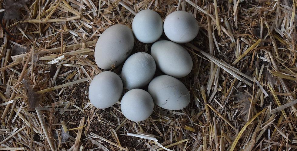 Fibro Easter Egger Hatching Eggs