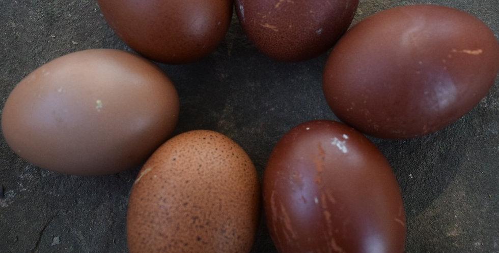 Black Blue Splash Copper Marans Hatching Eggs