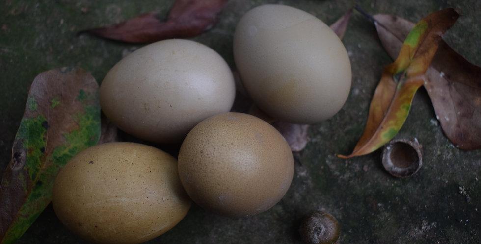 Olive Egger Hatching Eggs F1