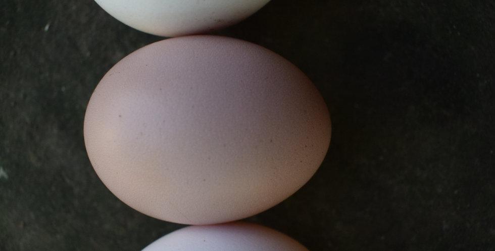 Ayam Cemani Hatching Eggs
