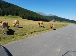 Passstraßen oft mit Tieren