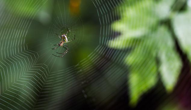 Ready Spider