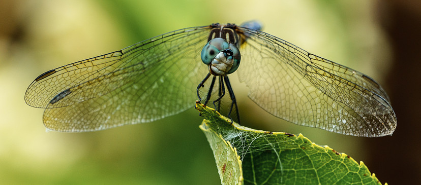 Curious Dragonfly