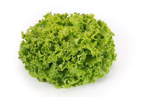 Organic Battavia Lettuce (France)