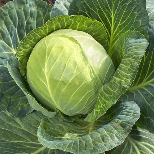 Organic Savoy Cabbage (Spain)