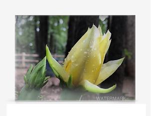 Yellow Cactus Photograph