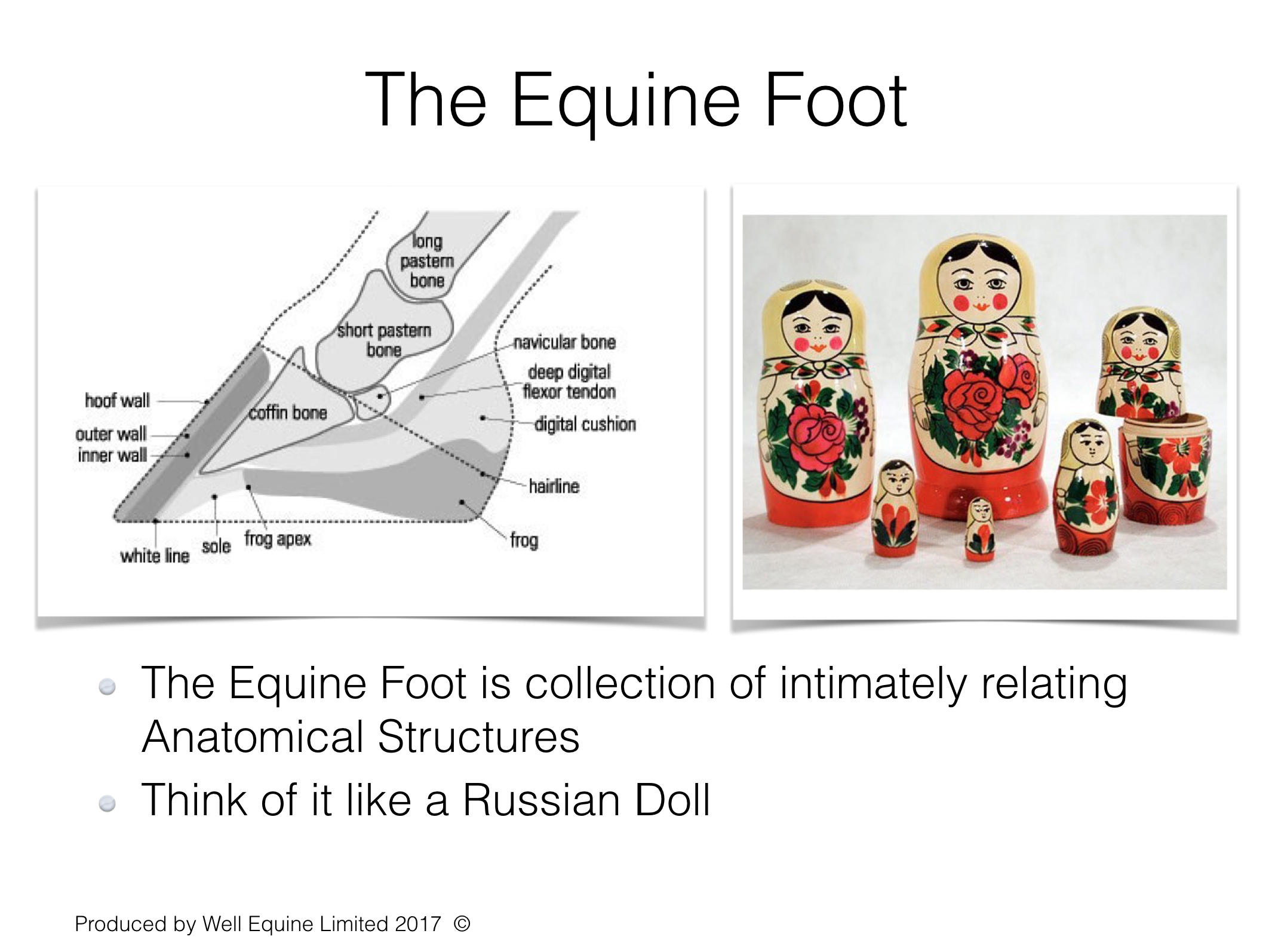 The Equine Foot