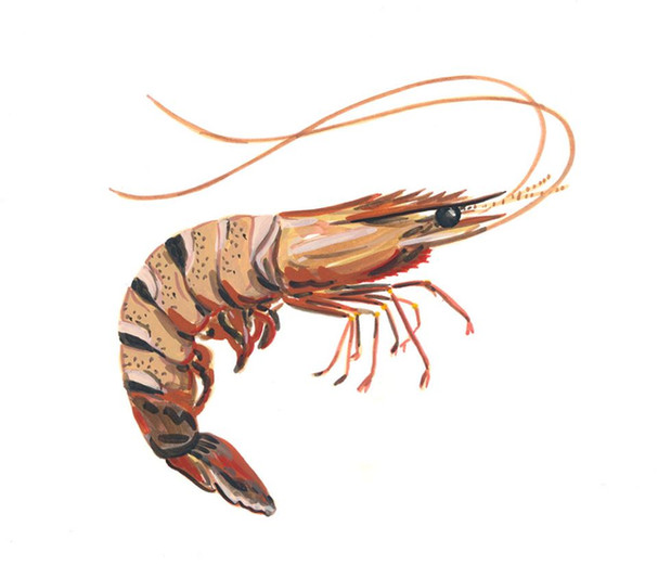 Giant Tiger Prawn