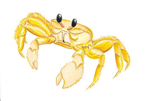 Golden ghost crab