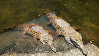 Liberan por primera vez especímenes de Caimán Llanero en la Macarena